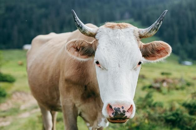 Mucca che mangia erba su un prato in montagna