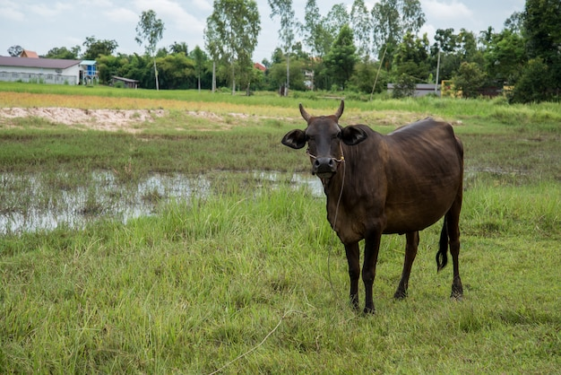 Mucca che mangia erba