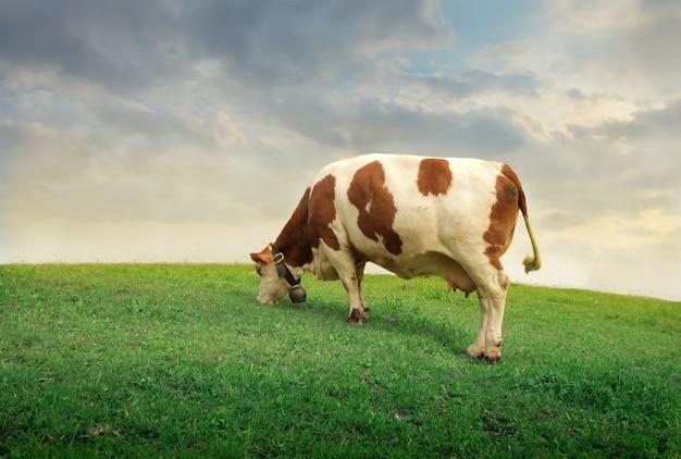Mucca che taglia erba