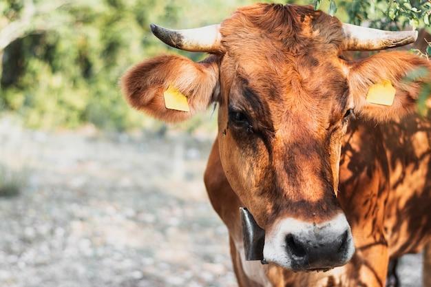 Mucca cornuta marrone che esamina la terra