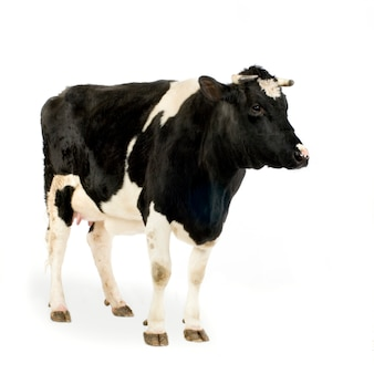 Mucca davanti a uno sfondo bianco