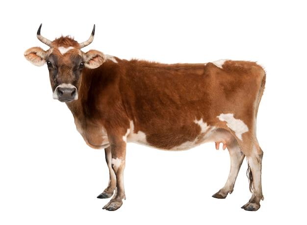 Mucca di brown jersey su un bianco isolata