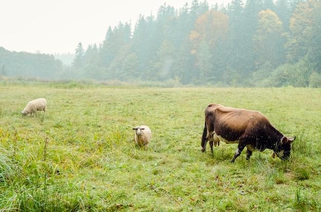Mucca e due pecore al pascolo nel campo