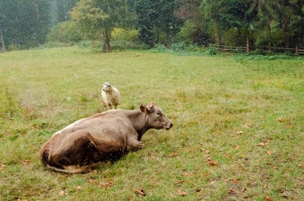 Mucca e pecora che pascono nel campo