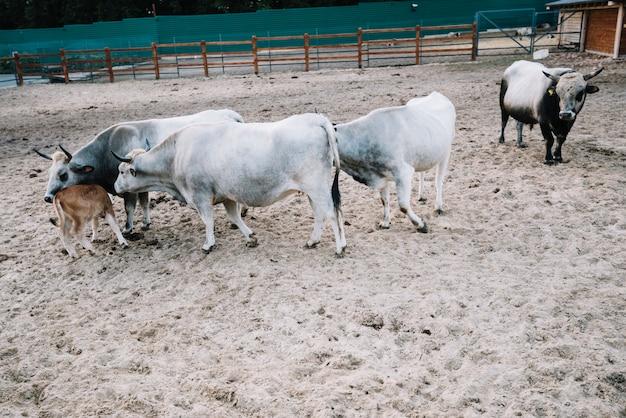 Mucca e vitello nel fienile