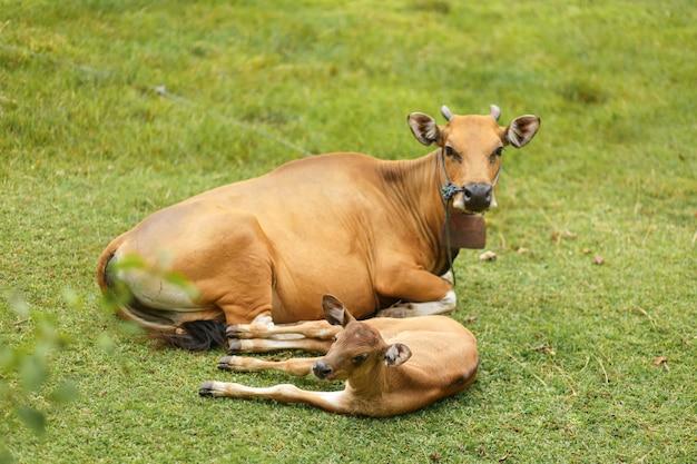 Mucca marrone di colore di balinese del ritratto che pasce in un prato.