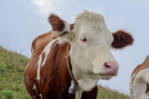Mucca nei pascoli di montagna