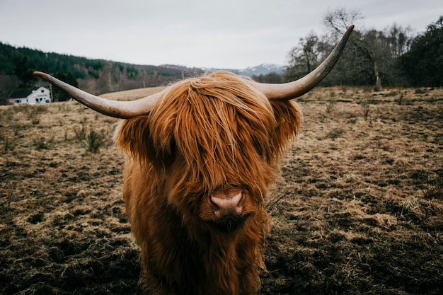 Mucca pelosa in campo