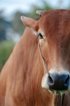 Mucca rossa dalla testa, da vicino