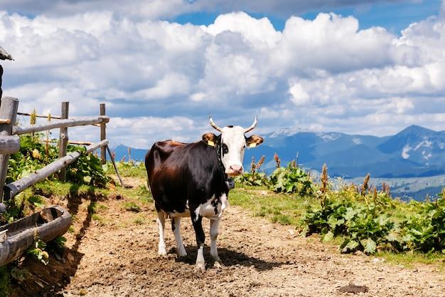 Mucca sul prato carpatico di alta montagna