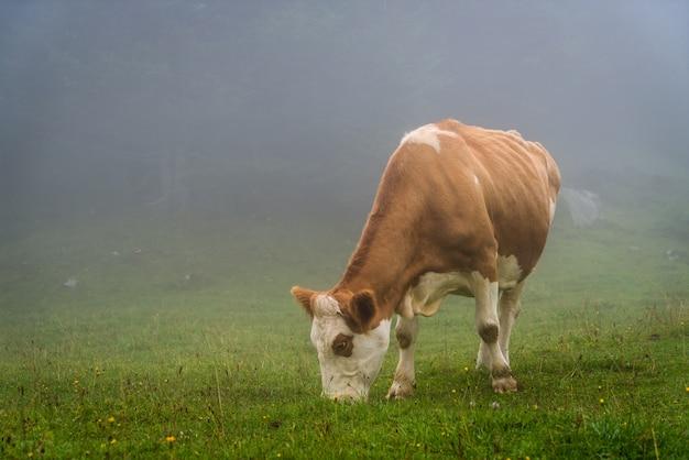 Mucca sulla collina