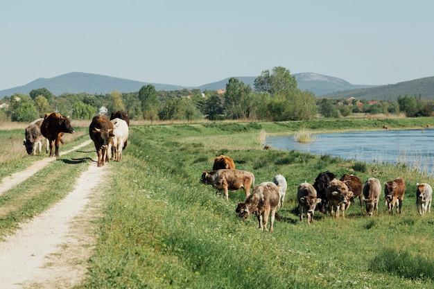 Mucche a lunga distanza che mangiano erba dal lago