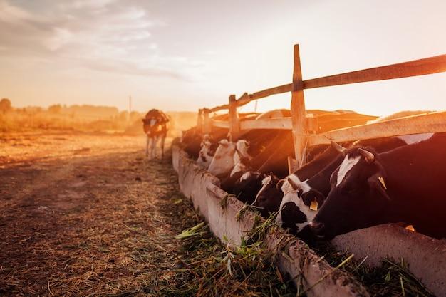 Mucche al pascolo in cortile al tramonto. bestiame mangiare e camminare all'aperto.