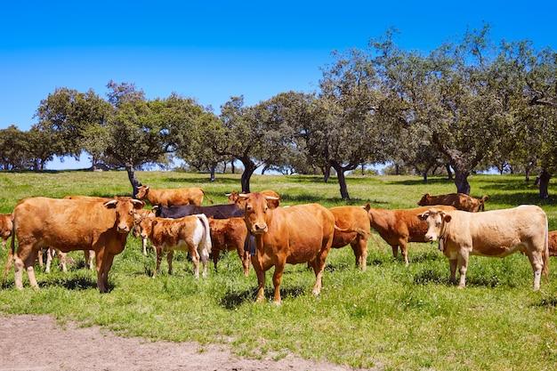 Mucche al pascolo in extremadura dehesa in spagna