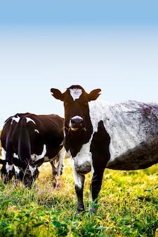 Mucche al pascolo in fattoria