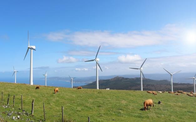 Mucche al pascolo in montagne verdi tra le turbine eoliche di cape ortegal, galizia, spagna