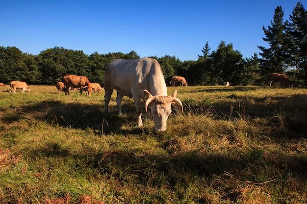 Mucche al pascolo, in spagna