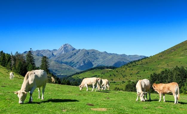 Mucche al pascolo nei pascoli dei pirenei, pic du midi sullo sfondo