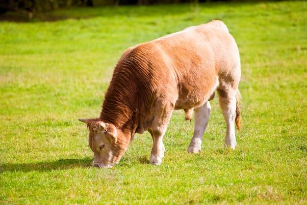 Mucche al pascolo nei prati di autunno verde dei pirenei in spagna