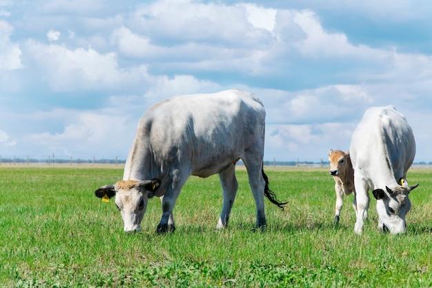 Mucche al pascolo nel prato