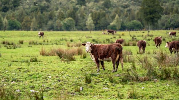 Mucche allevamento sano sul pascolo