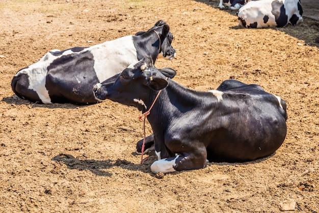 Mucche che dormono in una fattoria. le vacche da latte sono animali economici.