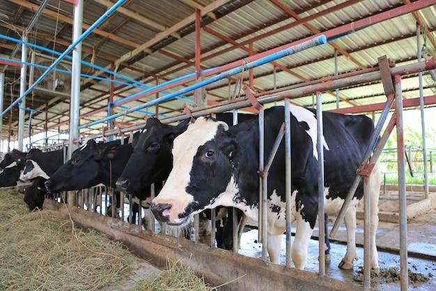 Mucche che mangiano fieno nell'azienda agricola della tailandia della stalla. vacche da latte al latte di produzione.