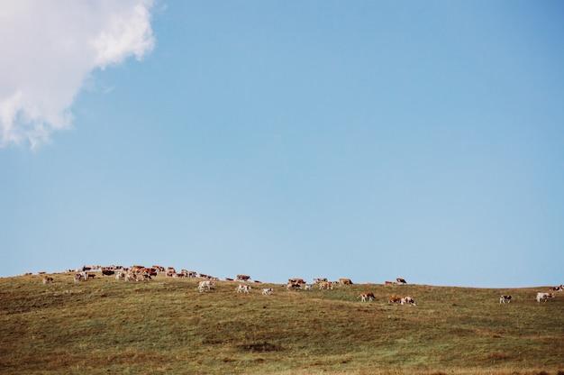 Mucche che si godono tranquillamente la fresca erba estiva del prato.