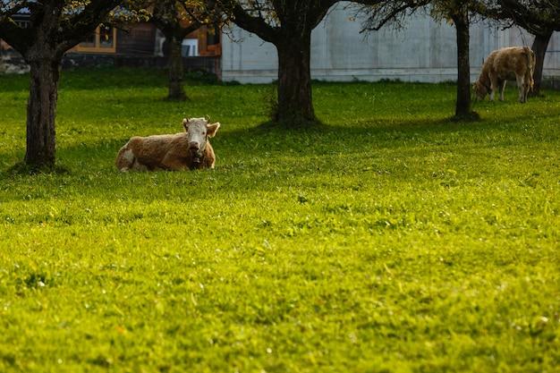 Mucche che si trovano sull'erba in campagna svizzera