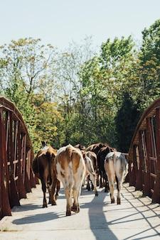 Mucche del primo piano che camminano sul vecchio ponte