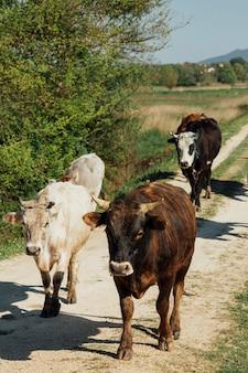 Mucche del primo piano che camminano sulla strada non asfaltata