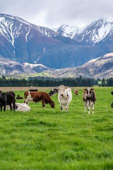 Mucche di bestiame nel paesaggio naturale