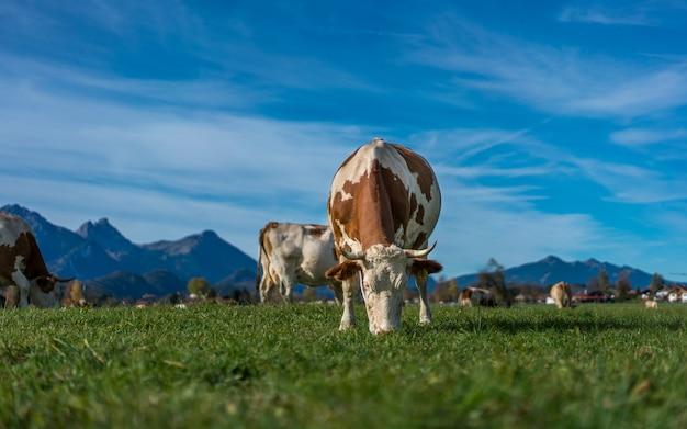 Mucche di bovini sane