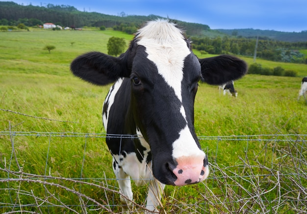 Mucche frisone nel prato spagna delle asturie