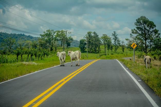Mucche in mezzo alla strada in costa rica