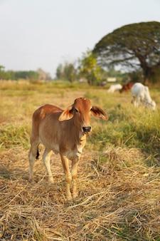 Mucche nel paese della tailandia