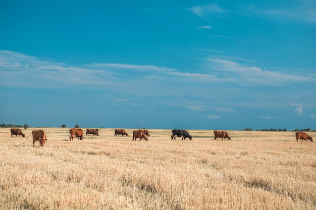 Mucche su un campo e su un cielo blu gialli.