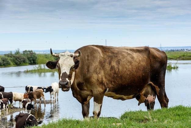 Mucche su un prato verde nella campagna industriale all'aperto vicino a pali con nuvole blu in estate
