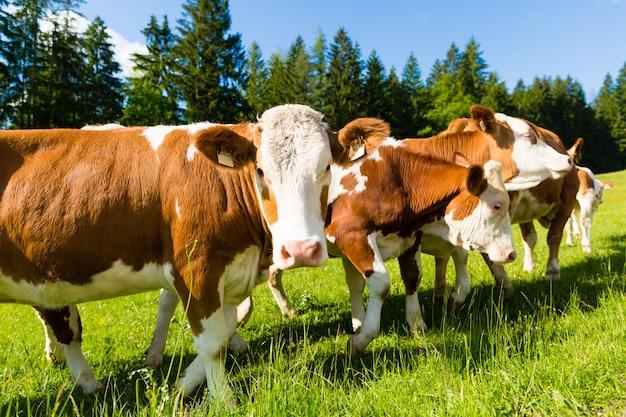 Mucche su un prato