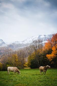 Mucche sulla montagna