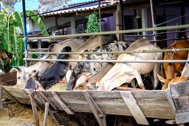 Mucche tailandesi che mangiano fieno di erba medica dalla mangiatoia