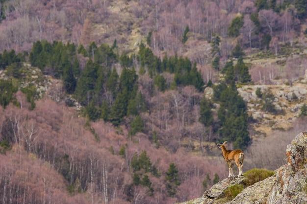 Muflone in primavera a capcir, pirenei, francia