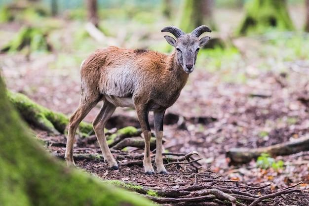 Muflone maschio nella foresta