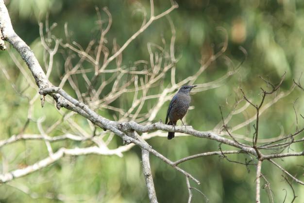 Mughetto blu (monticola solitarius)