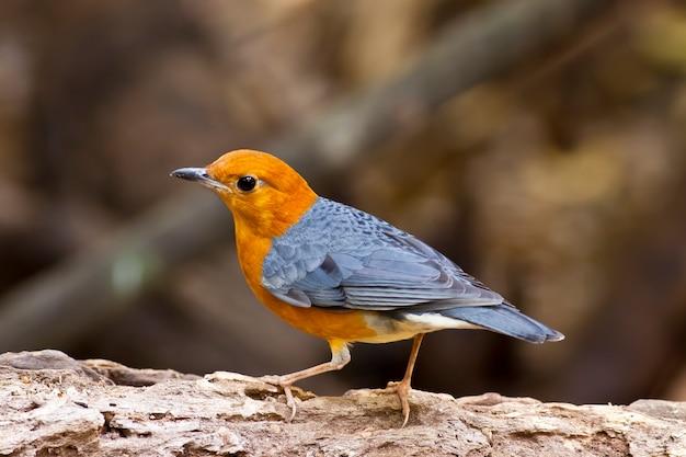 Mughetto dalla testa arancione (citrino di zoothera), uccello della thailandia