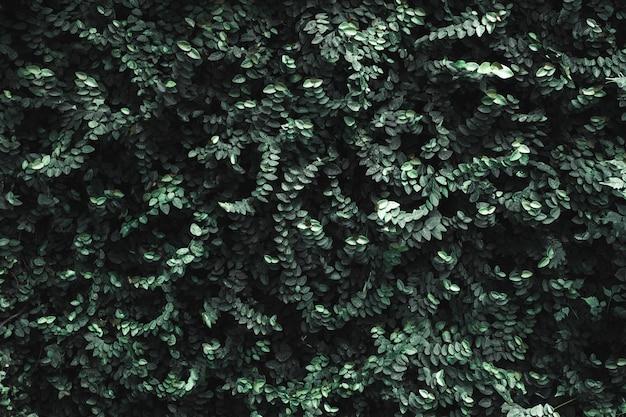 Muro di foglie verde scuro