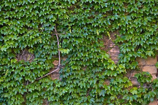 Muro di ivy