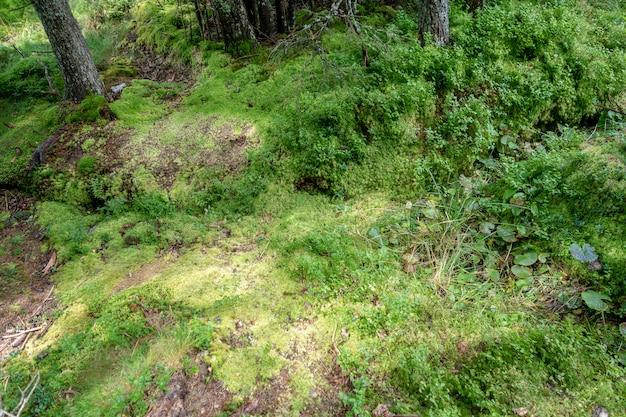 Muschio, erba e vegetazione nella foresta nel parco nazionale di bucegi