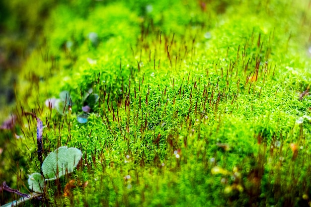 Muschio verde brillante nel bosco. sfondo di muschio verde