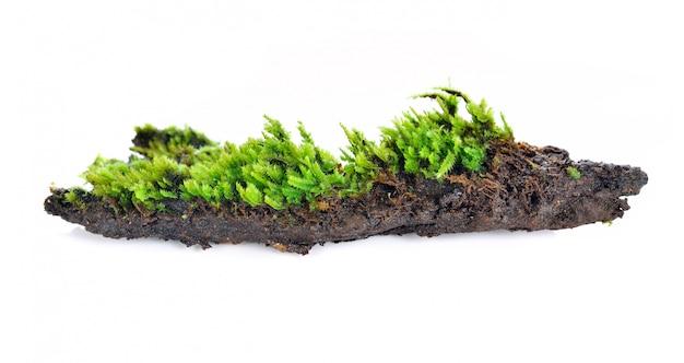 Muschio verde isolato su bakground bianco